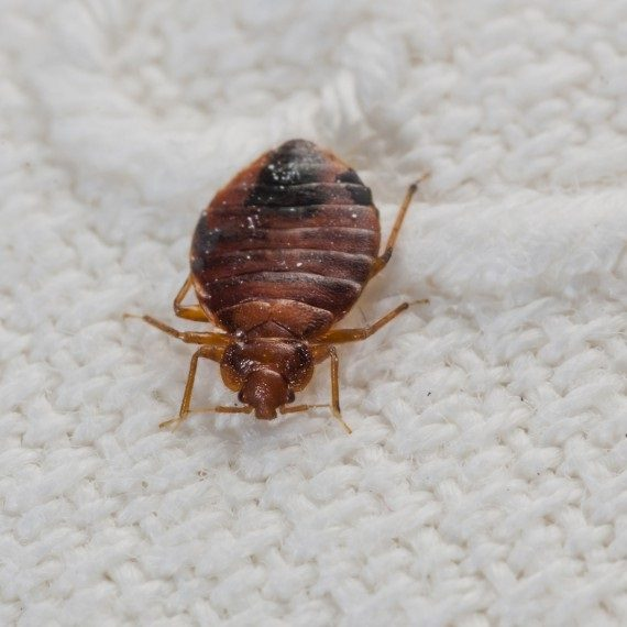 Bed Bugs, Pest Control in Norbury, SW16. Call Now! 020 8166 9746
