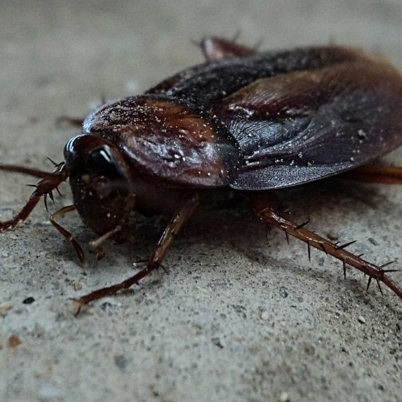 Cockroaches, Pest Control in Norbury, SW16. Call Now! 020 8166 9746