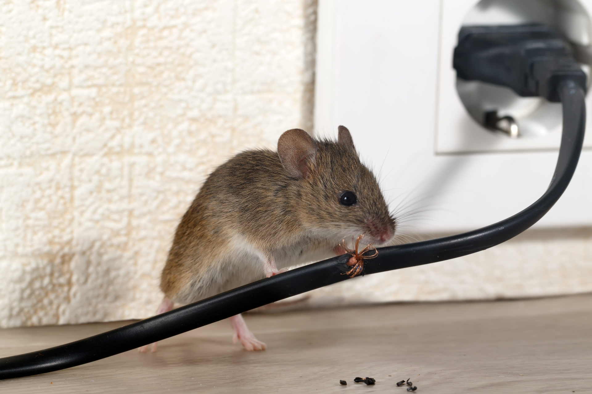 Mice Infestation, Pest Control in Norbury, SW16. Call Now 020 8166 9746