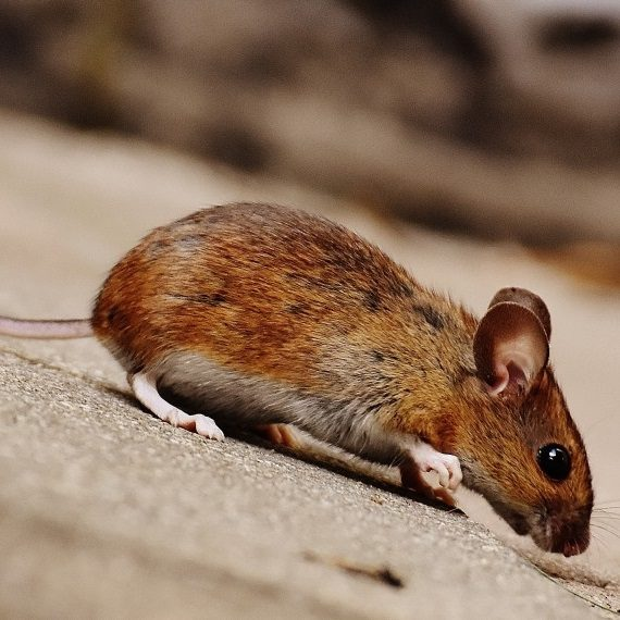 Mice, Pest Control in Norbury, SW16. Call Now! 020 8166 9746