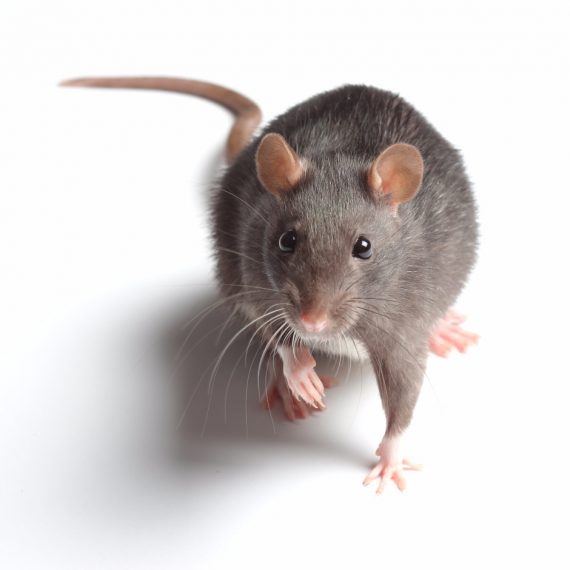 Rats, Pest Control in Norbury, SW16. Call Now! 020 8166 9746