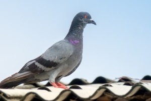 Pigeon Control, Pest Control in Norbury, SW16. Call Now 020 8166 9746